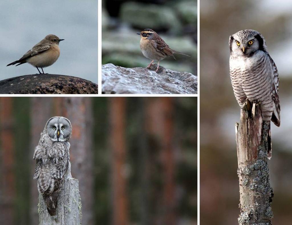 Foto: Lappuggla -Håkan Sterner Hökuggla, SibJärnsparvo Nunnestenskvätta-GunnarWijk