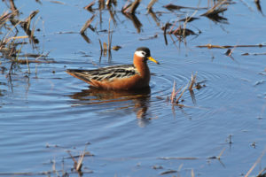 Red-Phalarope